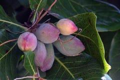 异乎寻常的桃子 图库摄影
