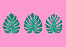 异乎寻常的棕榈叶 在millenial桃红色背景的Monstera叶子 三片不同monstera叶子 库存照片