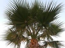 异乎寻常的棕榈树 库存照片