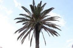 异乎寻常的棕榈树 库存图片
