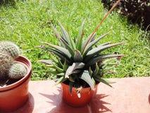 异乎寻常的植物仙人掌龙舌兰庭院 免版税库存照片