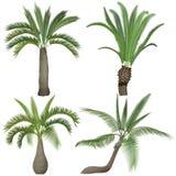 异乎寻常的热带现实棕榈棕榈树汇集集合 库存照片