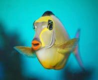 异乎寻常的热带鱼外科医生 库存图片