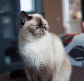 异乎寻常的猫品种 库存图片