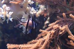 异乎寻常的珊瑚鱼 免版税库存照片