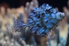 异乎寻常的珊瑚鱼 免版税图库摄影