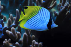 异乎寻常的珊瑚鱼 库存照片