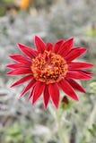 异乎寻常的红色花贺卡 库存照片
