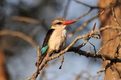 异乎寻常的非洲鸟:布朗戴头巾翠鸟 免版税图库摄影