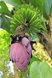 异乎寻常的香蕉花用果子 图库摄影