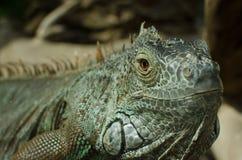 异乎寻常的鬣鳞蜥 库存图片