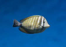 异乎寻常的鱼在水中 免版税库存照片