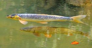 异乎寻常的鲤鱼夫妇  库存照片