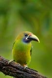 异乎寻常的鸟,热带森林小toucan 青红喉刺莺的Toucanet, Aulacorhynchus prasinus,绿色toucan鸟在自然栖所 库存图片