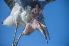 异乎寻常的鸟,飞行 免版税库存照片