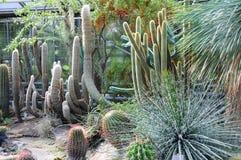 异乎寻常的仙人掌在一个植物园里 免版税库存图片