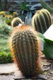 异乎寻常的仙人掌在一个植物园里 库存照片