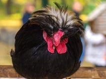 异乎寻常的黑暗的雄鸡坐栖息处 免版税图库摄影