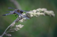 异乎寻常的蜻蜓 库存照片