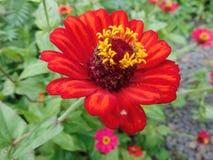 异乎寻常红色的花 免版税库存照片
