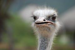 异常危险和困难与与有一点开放他的额嘴的一只驼鸟 库存图片