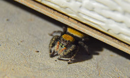 异常危险和困难的蜘蛛 库存照片