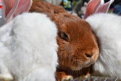 异常的兔子 库存照片