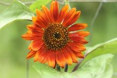 异常的向日葵或向日葵、红色或者桔子 免版税图库摄影