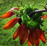 异常的向日葵或向日葵,下垂的红色向日葵 库存图片