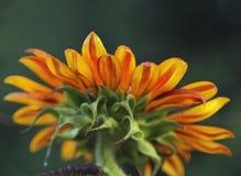 异常的向日葵或向日葵,从后面的看法 免版税库存照片