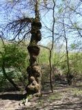 异常的树 库存图片