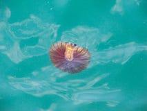 异常的水母游泳在亚得里亚海 免版税图库摄影
