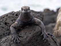 异常的海产鬣蜥蜴的画象,喙cristatus hassi,圣克鲁斯,加拉帕戈斯,厄瓜多尔 免版税图库摄影