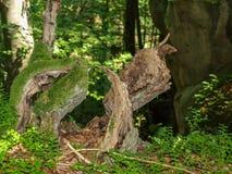 异常的生苔树桩和断枝在森林里 免版税库存图片