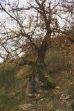 异常,发怒/大体描述注视着橡树,生长在岩石峭壁小山顶,板岩形成 库存图片
