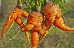 异常10棵的红萝卜 库存图片