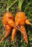 异常6棵的红萝卜 免版税库存图片