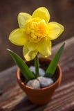 异想天开的在小泥罐的春天明亮的黄色黄水仙花 免版税库存照片