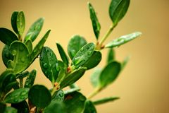 弄湿一条小的黄杨木潜叶虫布什的叶子 免版税库存图片