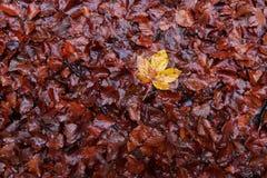 弄湿下落的秋叶 图库摄影