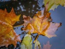 弄湿下落的秋天叶子在水中 库存图片