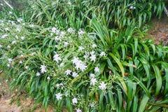 弄湿与白色紫罗兰花百合的绿色灌木 库存图片