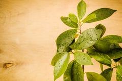 弄湿在木背景的叶子 免版税库存图片
