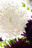 弄湿在白色隔绝的白色翠菊花特写镜头 库存照片