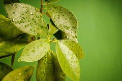 弄湿在绿色背景的叶子 库存图片