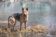 弄湿德国牧羊犬女性使用在水中 免版税库存照片