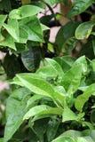 弄湿柠檬树的叶子 库存图片