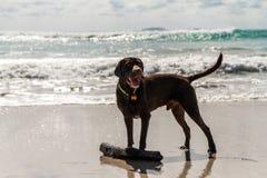 弄湿站立在海滩的棕色拉布拉多用一根木棍子在一个晴天 免版税库存照片