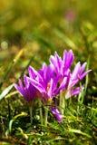 弄湿紫罗兰色番红花花卉生长在陆运 免版税库存图片