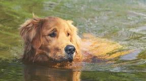 弄湿金毛猎犬在湖的水的狗游泳 库存图片